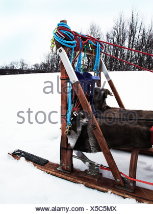 A dog sledge in the snow, Sweden. - Stock Photo