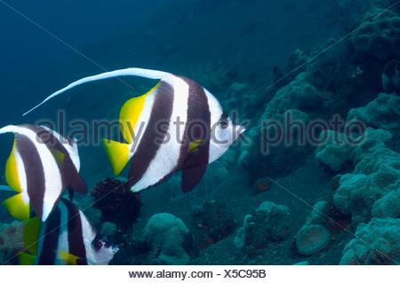 Longfin bannerfish.  Bali, Indonesia.  Indo-Pacific. - Stock Photo