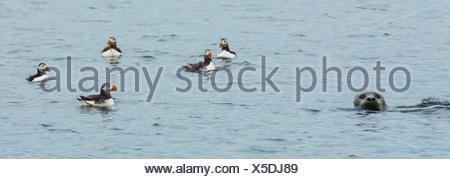 Atlantic puffins swim near a seal in the Atlantic. - Stock Photo