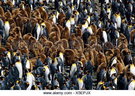 Adult king penguins (Aptenodytes patagonicus) and chicks, Salisbury Plains, South Georgia Island, southern Atlantic Ocean - Stock Photo