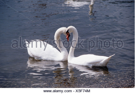 Cygnus olor / mute swans - two , in water , forming a heart - - Stock Photo