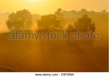trees in morning mist, Germany, North Rhine-Westphalia, Nature Reserve Westruper Heide - Stock Photo