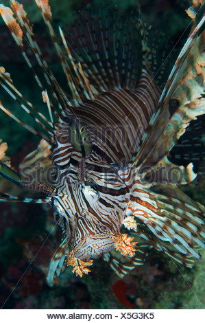 A common lionfish, Pterois volitans and soft coral branch. - Stock Photo