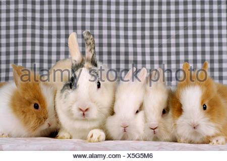 Lionhead rabbit (Oryctolagus cuniculus f. domestica), Lionhead rabbit with four juveniles - Stock Photo