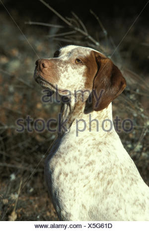 Bourdonnais Pointer Dog, Portrait - Stock Photo