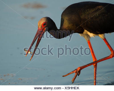 black stork, ciconia nigra, germany, europe - Stock Photo