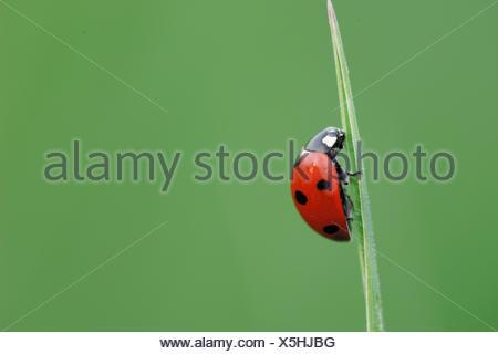Seven-spot Ladybird Sevenspot Ladybird 7-spot Ladybird Coccinella septempunctata blade of grass - Stock Photo