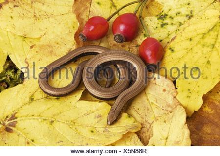 slow worm in foliage / Anguis fragilis - Stock Photo