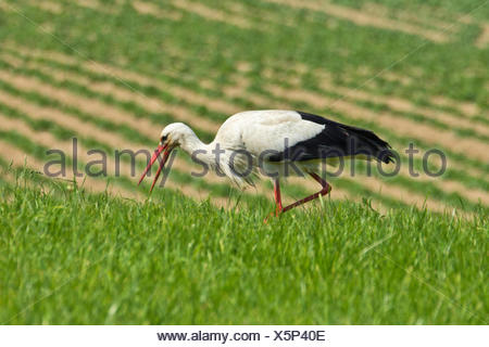 white stork (Ciconia ciconia), on the feed in a meadow, Germany, Bavaria - Stock Photo