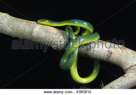 Green Snake, opheodrys major, Adult on Branch against Black Background - Stock Photo
