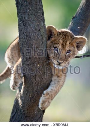 Lion cub about 3 months old, climbing a tree. Near Ndutu, Ngorongoro Conservation Area / Serengeti National Park, Tanzania. - Stock Photo