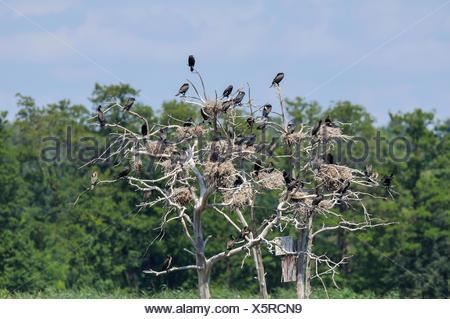 Great Cormorants or Great Black Cormorants (Phalacrocorax carbo) nesting on dead trees, breeding colony, Meißendorfer Teiche - Stock Photo