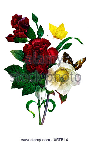 Christmas rose and Clove Pink - Stock Photo