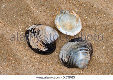 ocean quahog, Icelandic cyprine, mahogany clam, mahogany quahog, black quahog, black clam (Arctica islandica, Cyprina islandica), shells on the beach, Germany - Stock Photo