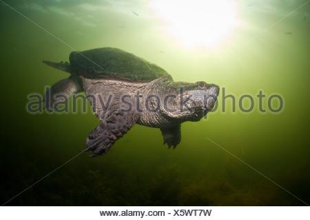 Common Snapping Turtle, Chelydra serpentina, Massachusetts, Cape Cod, USA - Stock Photo