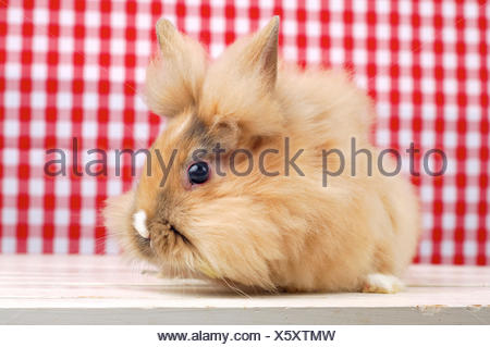 Lionhead rabbit (Oryctolagus cuniculus f. domestica), cute rabbit sitting in front of a red and white checkered background - Stock Photo