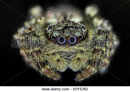 Springspinne, Spring-Spinne (Salticidae), Portraet | Jumping spider (Salticidae), portrait | BLWS418987.jpg [ (c) blickwinkel/F. - Stock Photo