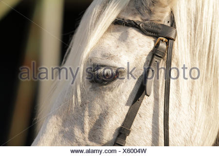 Andalusian Horse - PRE - Stock Photo