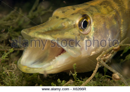 Austria, Weyregg, Pike, Esox lucius, in lake Attersee - Stock Photo