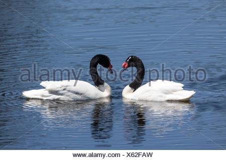Two black-necked swans,Cygnus melancoryphus,meet face to face. - Stock Photo