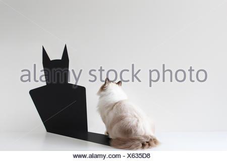 Conceptual ragdoll cat looking at bat shadow - Stock Photo