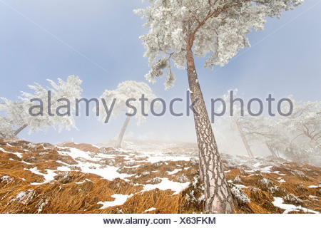 Snow-covered pine trees (Pinus sylvestris) at Untersberg mountain, Berchtesgaden, Germany, low angle view - Stock Photo