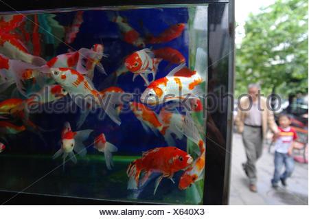 Orange and white Goldfish, Carassius auratus, swimming in fish tank. - Stock Photo