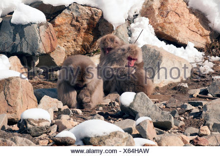 Japanese macaque or snow japanese monkey (Macaca fuscata), sleeping family, Japan - Stock Photo