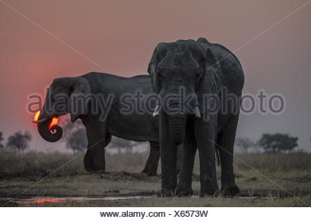 Elephants, Loxodonta africana, drinking at a small water pool as the sun sets. - Stock Photo