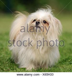 Mi-ki, Miki (Canis lupus f. familiaris), single individual - Stock Photo