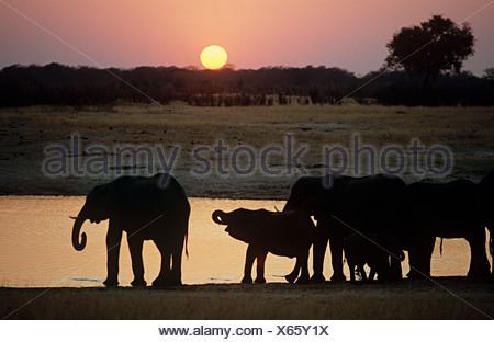 Elephant family at sunset - Stock Photo