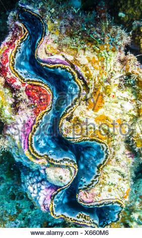 Colorful giant clam in the Red Sea<a href='http://en.wannadive.net/spot/Africa/Egypt/Marsa_Alam/Marsa_Mubarak/' target='_blank'>Marsa Mubarak</a> Marsa Alam, Al Bahr al Ahmar, Egypt - Stock Photo