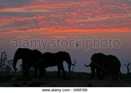 African elephants (Loxodonta africana) sunset. Savuti, Chobe National Park, Botswana, Africa - Stock Photo