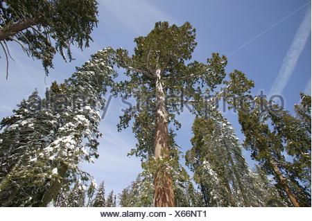 Giant Sequoias (Sequoiadendron giganteum) in wintertime, Sequoia National Park, California, USA, North America - Stock Photo