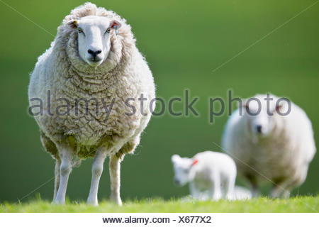 Portrait sheep in spring grass - Stock Photo