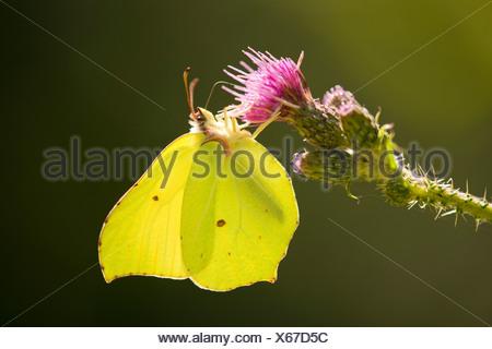 Brimstone (Gonepteryx rhamni) sucking nectar, Lower Saxony, Germany - Stock Photo