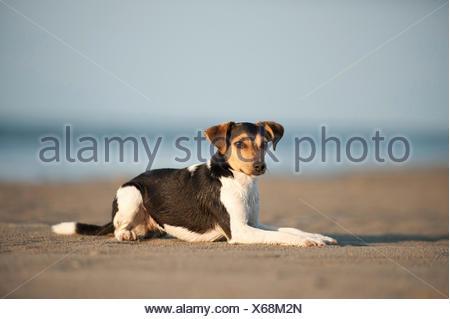 Lying Dansk-Svensk Gardshund or Danish–Swedish Farmdog - Stock Photo