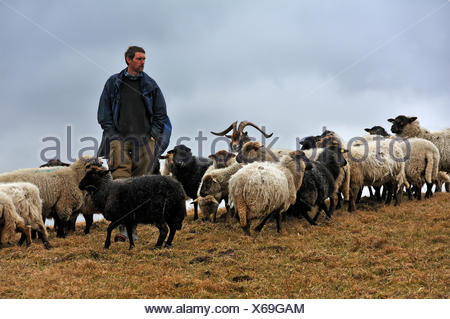 Young farmer looking after his sheep, one goat at centre, Kalkberg, Nesow, Mecklenburg-Western Pomerania, Germany - Stock Photo