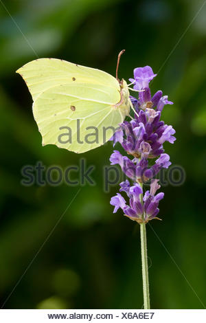 Animal, Insect, Common Brimstone, Gonepteryx rhamni, Butterfly, Pieridae, Arthropoda, Lepidoptera, Wings, Yellow, closed, Switze - Stock Photo