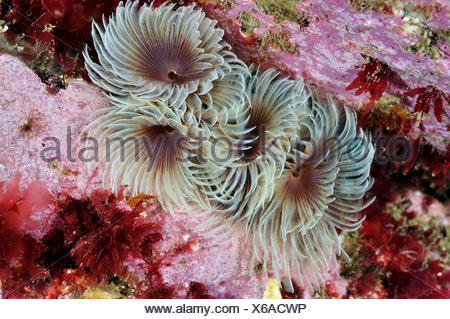 Tube worms (Bispira volutacornis) living between rocks covered in Crustose coralline (Corallinaceae) and red algae (Rhodophyceae), Lundy Island Marine Conservation Zone, Devon, England, UK, May. - Stock Photo