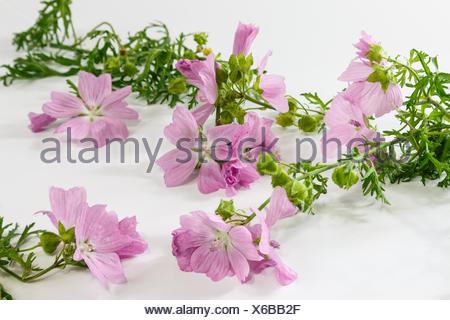 Rose mallow - Stock Photo