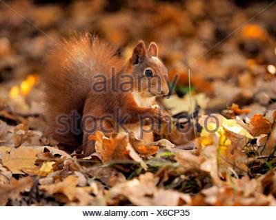 European red squirrel, Eurasian red squirrel (Sciurus vulgaris), sitting on autumn foliage and eating, Germany, Saxony - Stock Photo