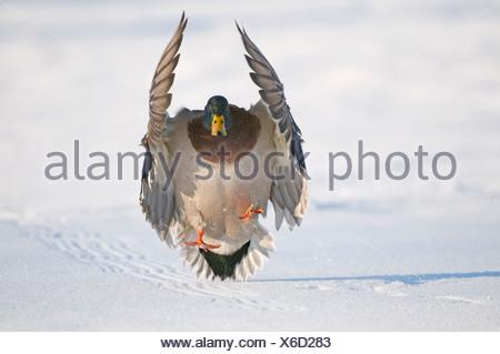 Mallard drake with wings extended lands in snow near Chena River, Fairbanks, Interior Alaska, Winter, Digitally Altered - Stock Photo