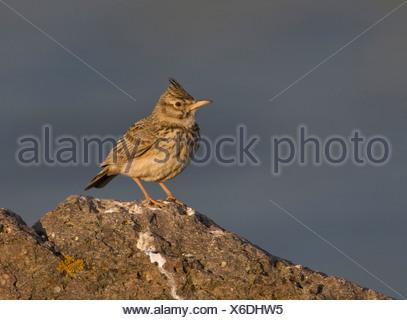Kuifleeuwerik, Galerida cristata, Crested lark - Stock Photo