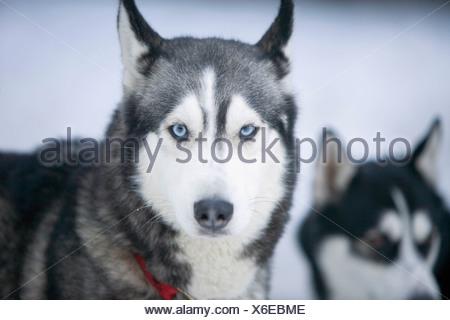 Two Siberian huskies in snow - Stock Photo
