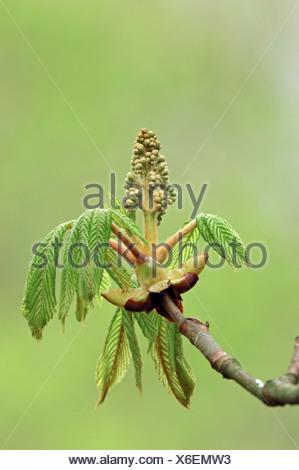 Horse Chestnut (Aesculus hippocastanum), leaves and bud, North Rhine-Westphalia, Germany, Europe - Stock Photo
