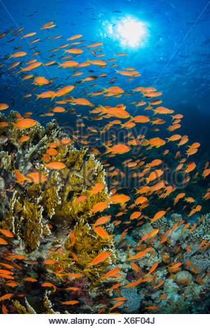Vibrant Red Sea reef scene, with orange female Scalefin anthias (Pseudanthias squamipinnis) swarming in front of Fire coral (Millepora dichotoma) feeding on plankton brought to the reef by currents. Ras Mohammed Marine Park, Sinai, Egypt. - Stock Photo
