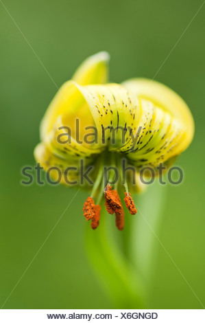 Lily, Turkscap lily, Lilium pyrenaicum, Yellow, Green. - Stock Photo