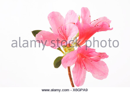 Japanese azalea - Stock Photo