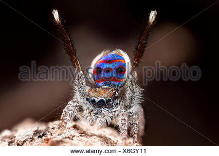 A male Maratus speciosus 'peacock jumping spider' performing mating courtship dance for a female spider. - Stock Photo
